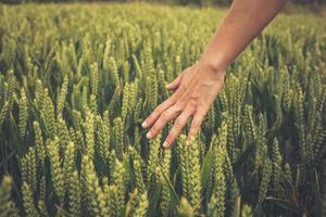 Mano tocando cultivos en campo foto
