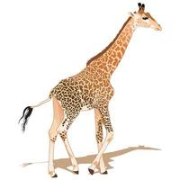 African Giraffe Walking