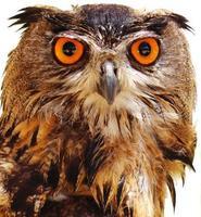 Owl potrait photo