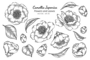 Camellia Japonica Flower and Leaf Line Art Drawing vector
