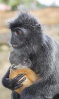 Silver Leaf Monkey & Child photo
