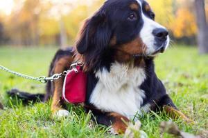 Bernese Mountain puppy photo