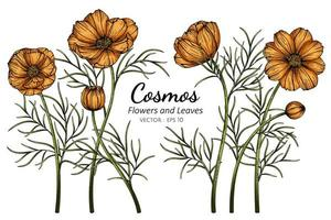 Orange Cosmos hand drawn botanical illustration vector