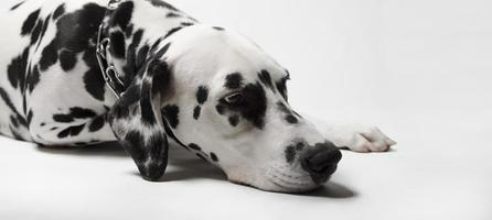 Dalmatian dog misses photo