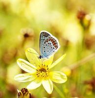 blue butterflies in grass photo