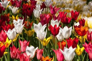Carpet of tulips of different colors close-up photo