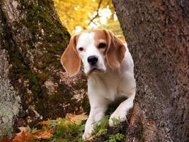 Beagle hiding behind the tree