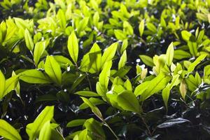 Green tea leaves in a garden on Borromean island