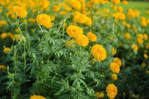 Marigolds or Tagetes erecta flower photo