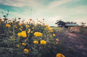 Marigolds or Tagetes erecta flower vintage photo