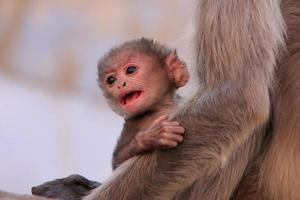 Baby Gray langur sitting with mother, Pushkar, India