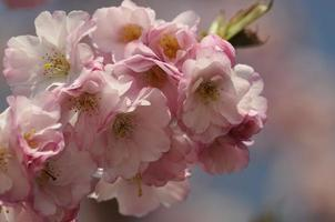 cherry blossom photo