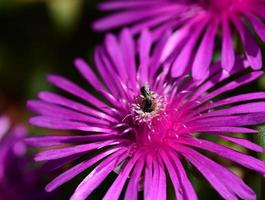 Close-up Purple Flower Iceplant - Delosperma cooperi