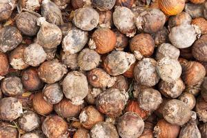 Areca nut background
