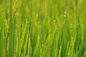 Dew on the leaves of rice fields photo