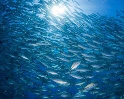 pesce spada bigeye