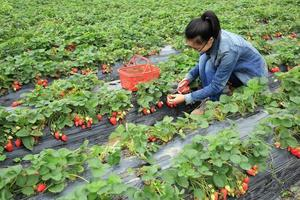 hands picking strawberry at garden