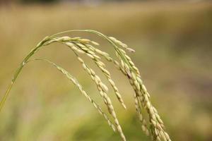 Blade of Nepalese rice fields. photo