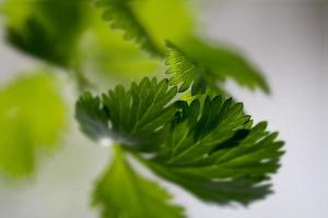 coriander leaf, close up with selective focus