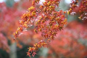 hojas rojas de otoño en Japón, Kyoto foto