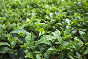 hoja de té verde en campo