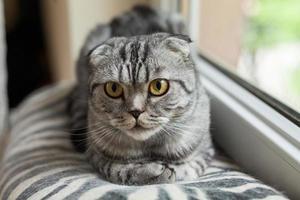 The closeup of sitting dun cat next to the window