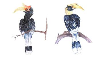 Hornbill painted in watercolor vector