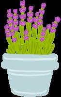 bloem lavendel in pot