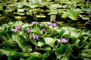 les groupes de lotus sur le canal