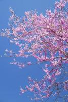 Vertical-Brilliant Redbud tree blooms against a blue sky.
