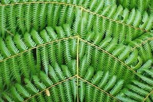 New Zealand Punga (Ponga) Fern Fronds Background