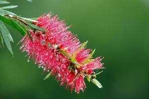 flor roja del árbol del cepillo de botella (callistemon) después de la lluvia