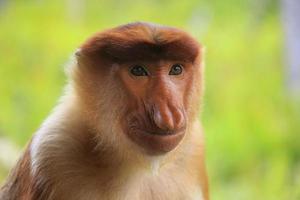 porträtt av proboscis apa, borneo, malaysia