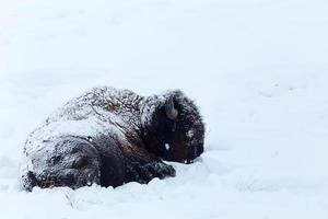 Bison photo