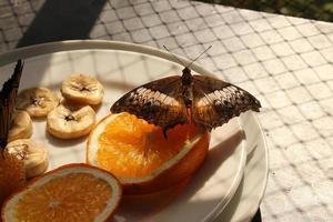 """""""maleis cruiser"""" vlinder - vindula dejone"""