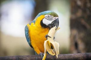 guacamayo azul y amarillo comiendo plátano; boracay Filipinas foto