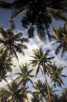 Ásia bali palmtree plantação