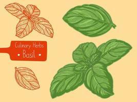 Leaves of culinary herb Basil vector