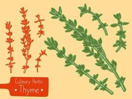 Branches of culinary herb Thyme vector