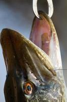 luccio pescato