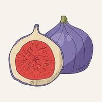Illustration drawing style of fig vector