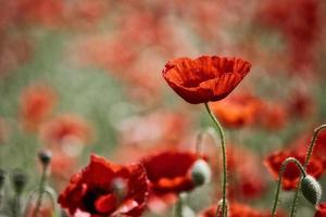 field with poppies photo