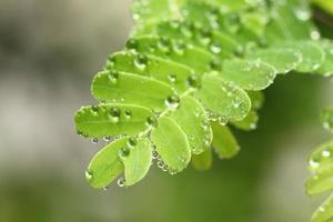 hojas con gotas de rocío foto