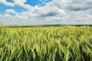 campo de trigo verde con cielo azul foto