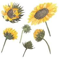 Sunflower bud watercolor set vector