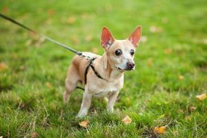 Red haired Chihuahua walking in a park