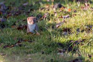 Weasel standing in grass