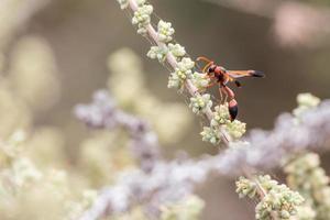 Caterpillar hunting wasp