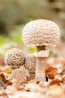 Four Parasol mushrooms