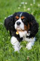 Cavalier King Charles spaniel laying on green grass in a park
